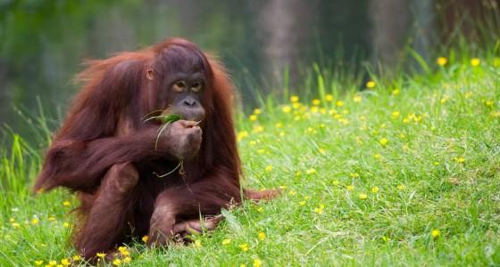 Kinabatangan red ape project 京那巴当岸-红色叶猴計劃