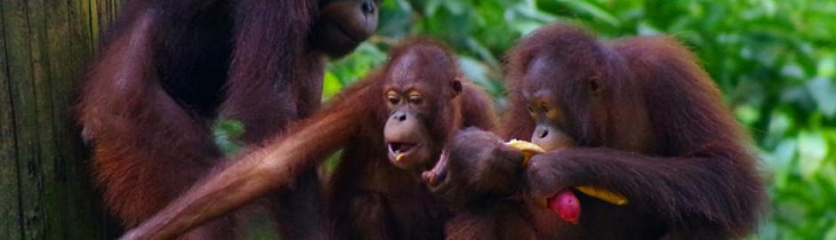 Sepilok orang utan rehabilitation centre 西必洛 人猿保护中心