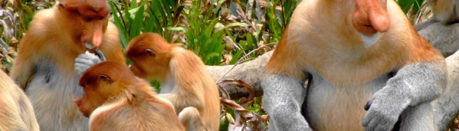 Labuk bay proboscis monkey sanctuary 拉卜 灣長鼻猴保護中心