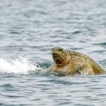 Turtle at Selingan Island