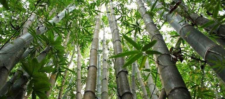 BOE-Kawang-Bamboomain.jpg
